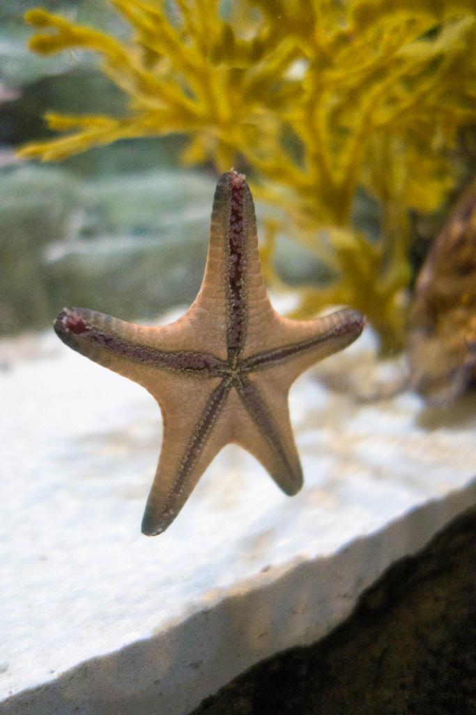 sea-life-arizona-starfish