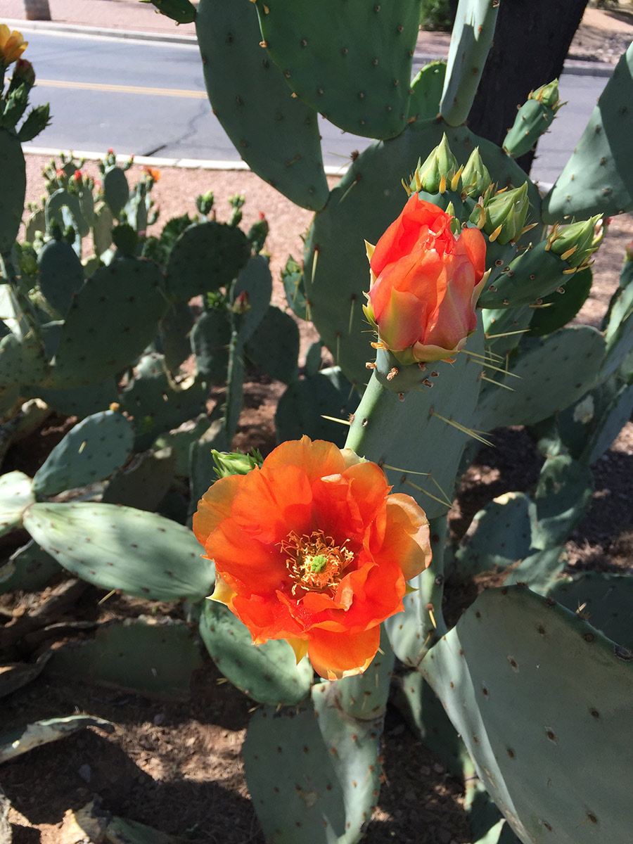 Cactus-Flower-Scottsdale-Ranch-Park